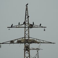 Cormorant nests on a defunct power pylon